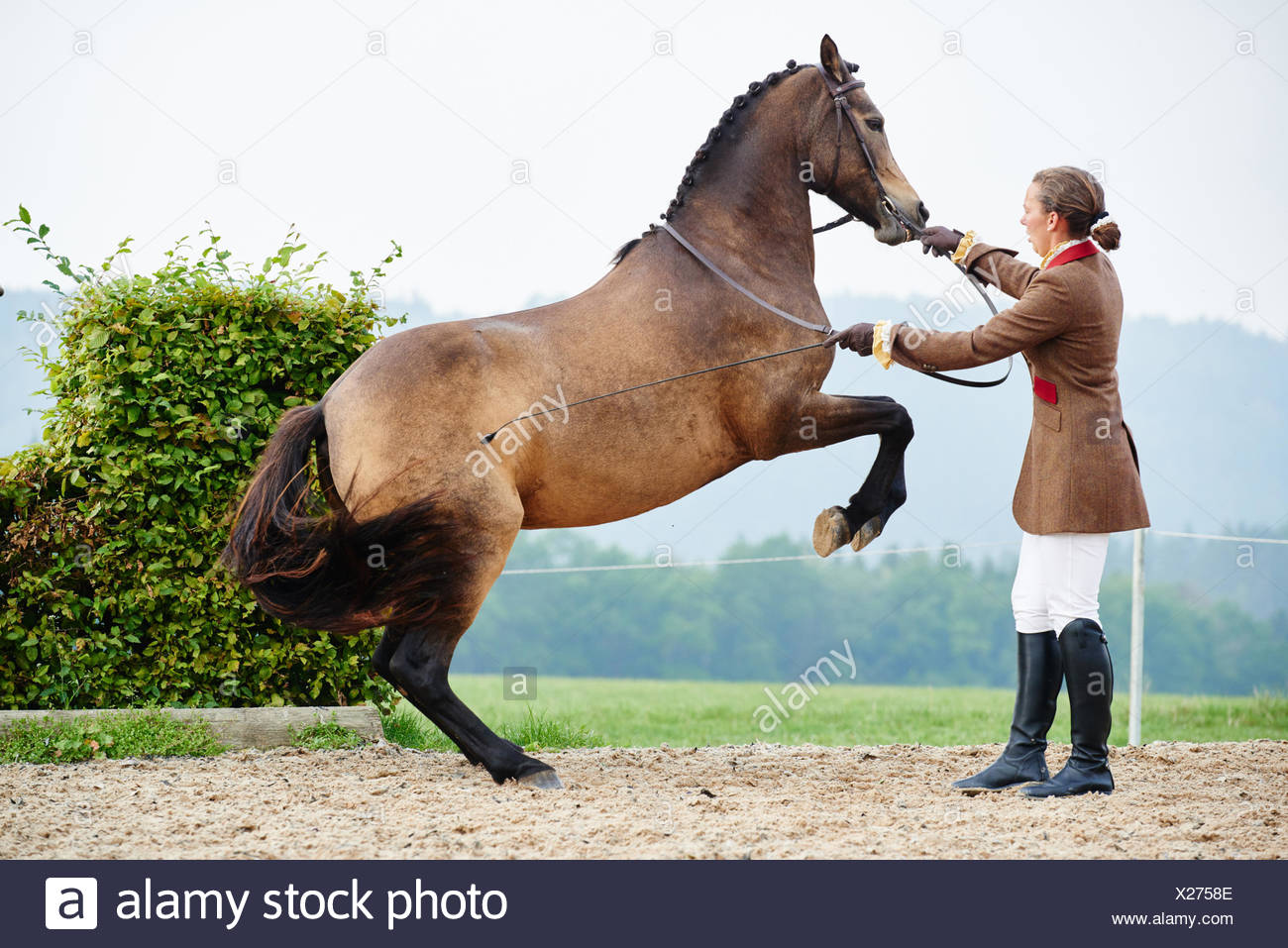 Female rider training dressage horse on hind legs in equestrian arena - Stock Image