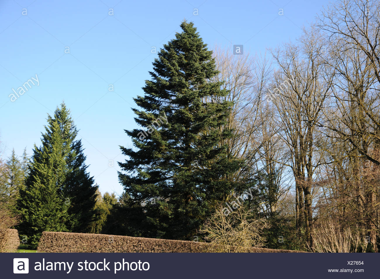 Caucasian fir Stock Photo