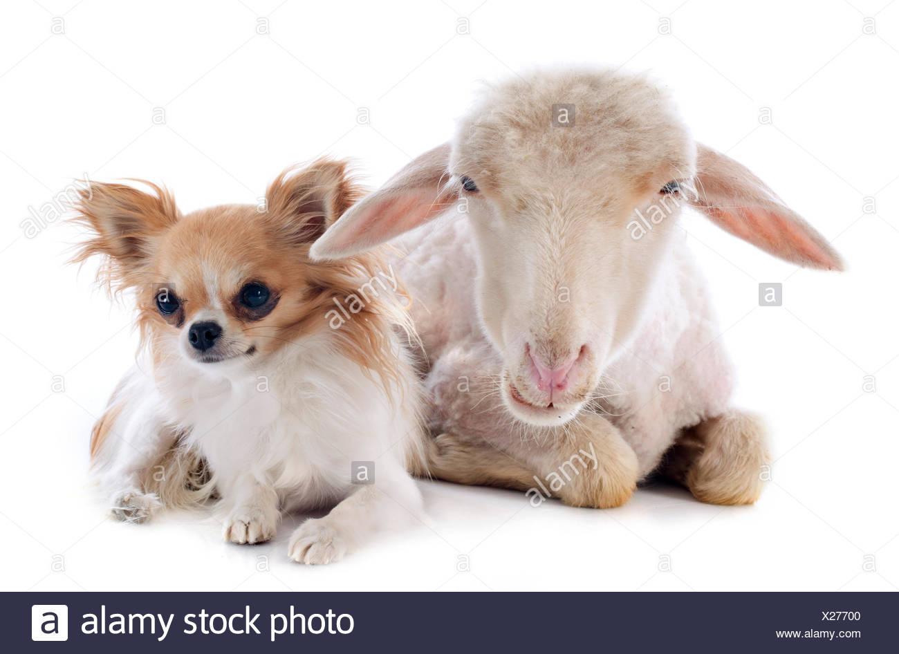 sheep, dog, three, cat baby, kitten, ewe, pussycat, cat, domestic cat, lamb, - Stock Image