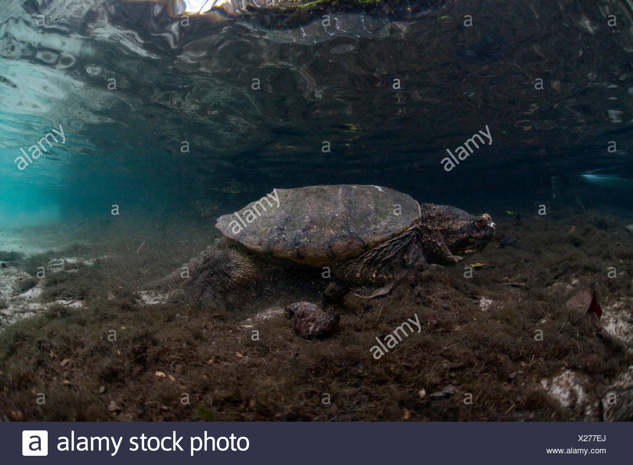 Common Snapping Turtle (Chelydra serpentina), Crystal River, Florida, United States - Stock Image