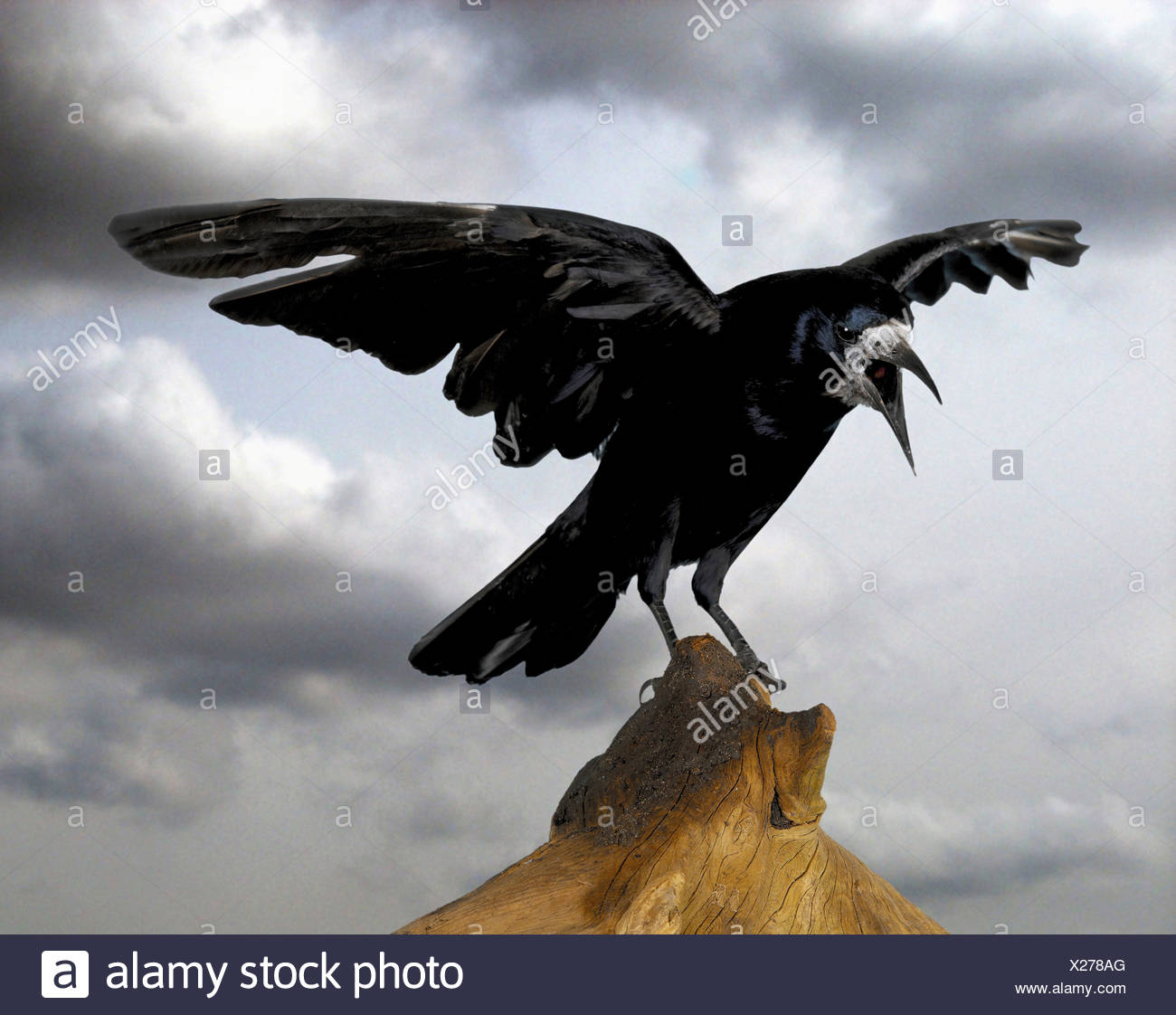 Rook landing on tree stump - Stock Image