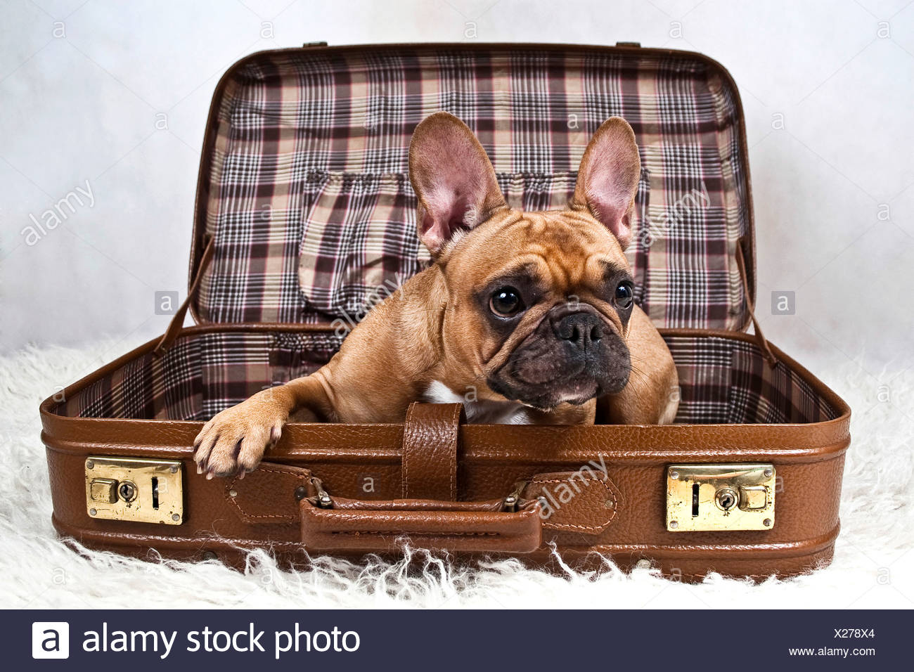 French bulldog lying in a suitcase - Stock Image