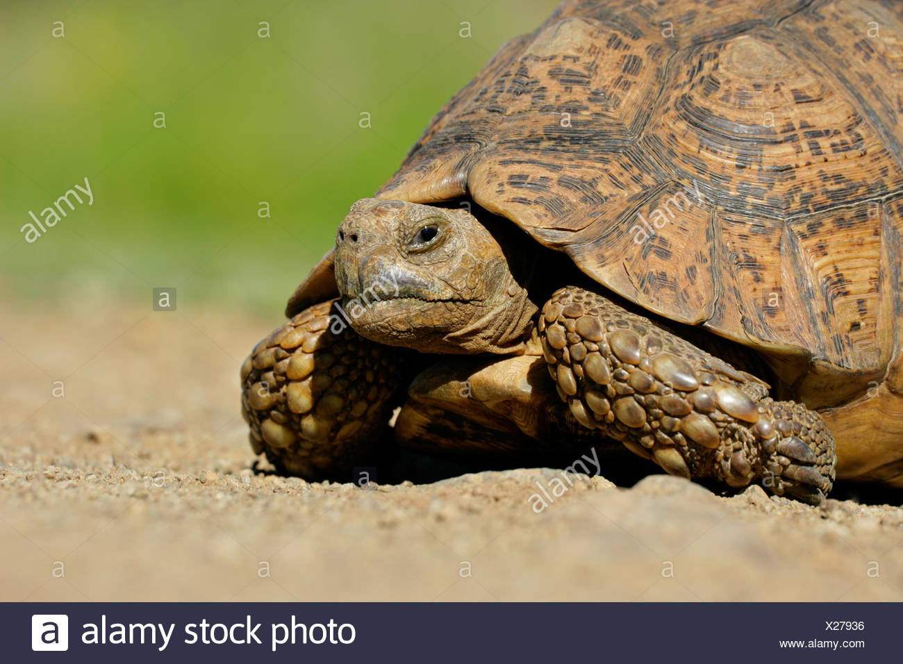 animal, reptile, africa, shell, African, tortoise, mountain, turtle, - Stock Image