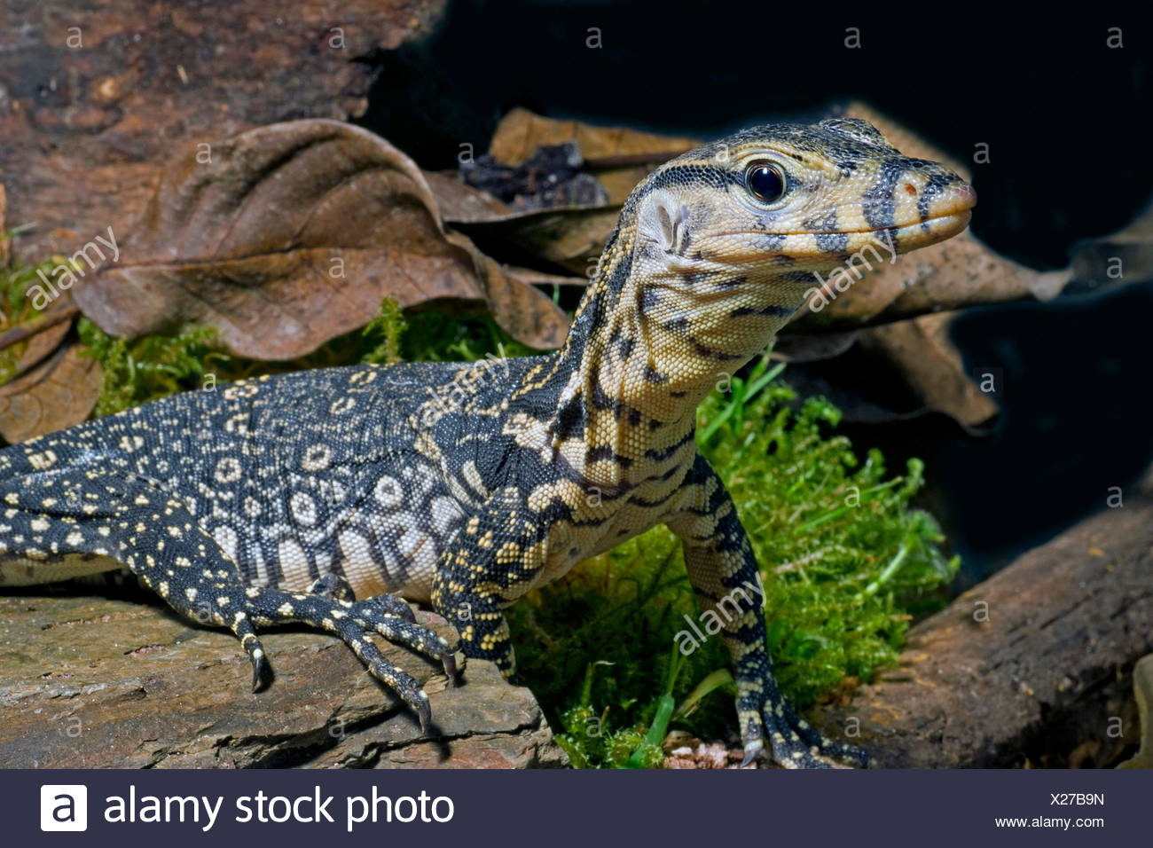 common Asiatic monitor, water monitor, common water monitor, Malayan monitor (Varanus salvator), portrait - Stock Image