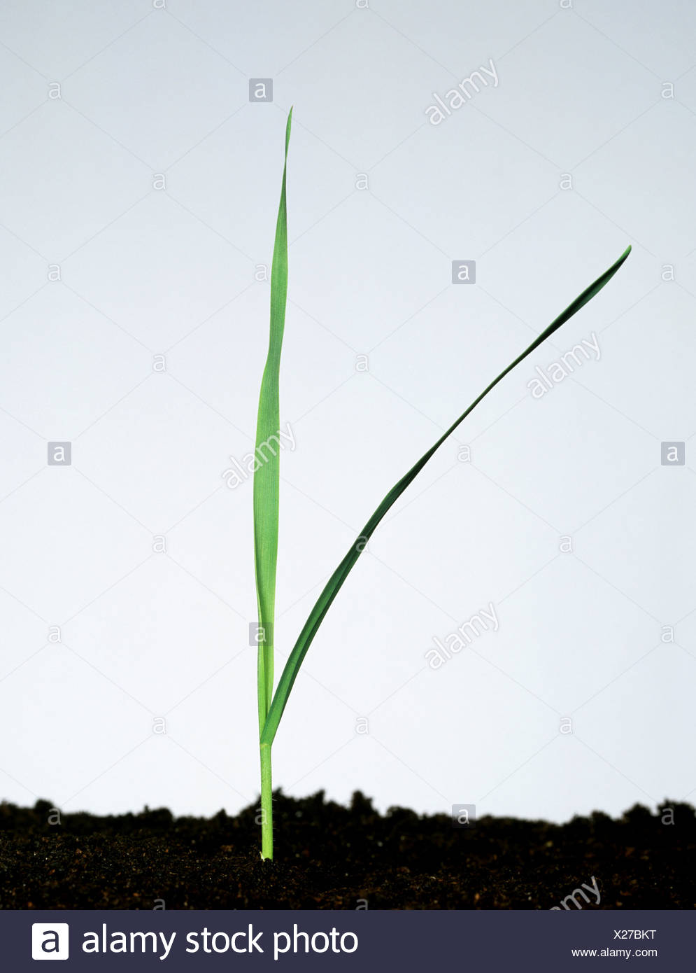 Wild Oat (Avena fatua) young plant with two leaves Stock Photo