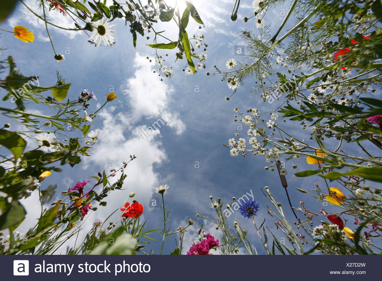 Worms eye view of a flower meadow, Germany - Stock Image