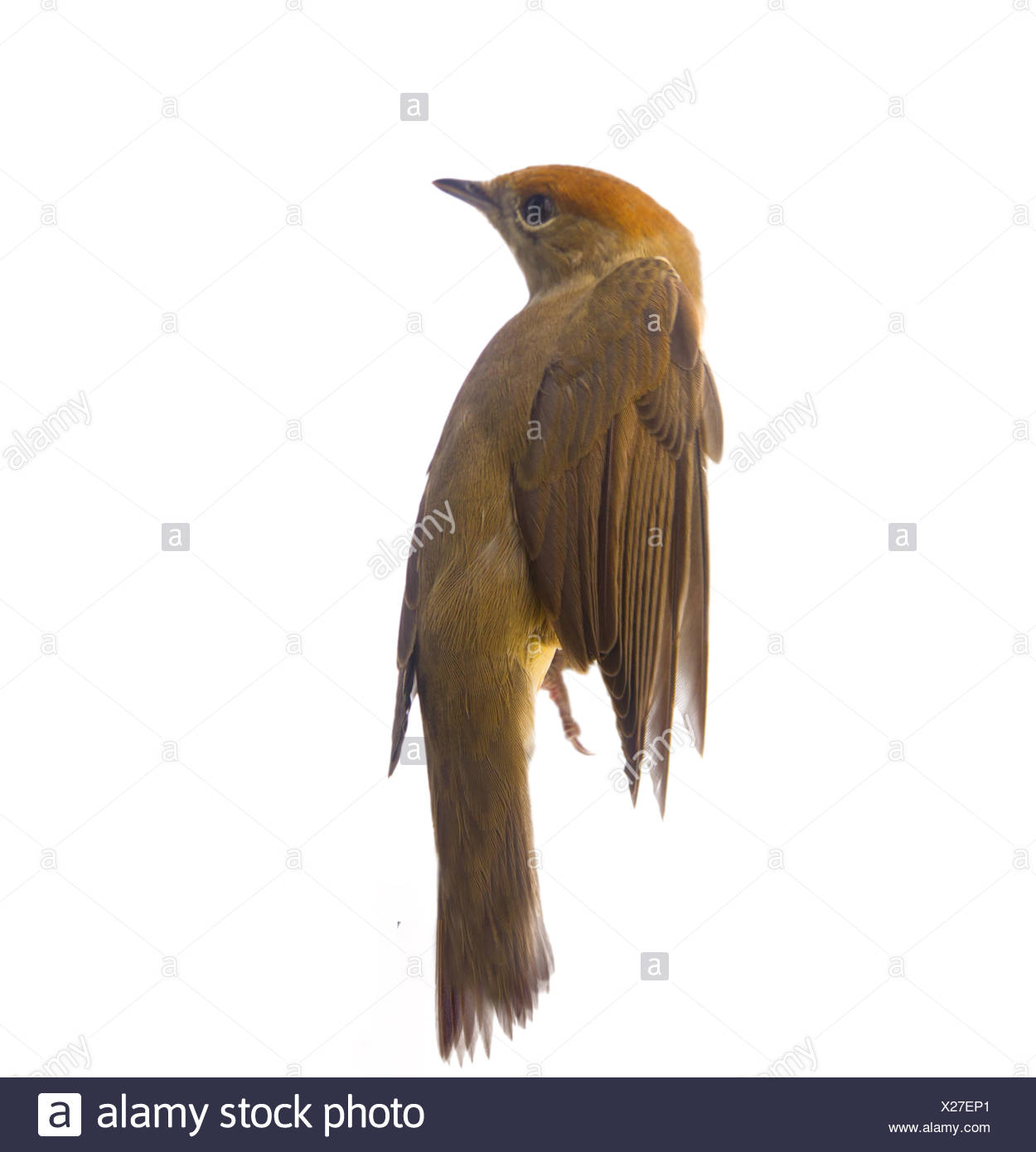 bird isolated on a white background (Black-cap) - Stock Image