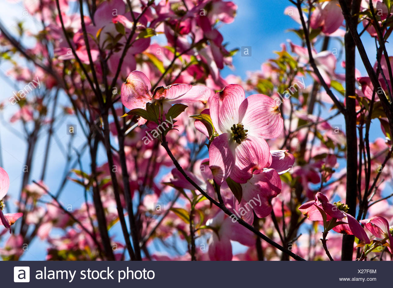 Close Up Of The Flowers Of A Red Flowering Dogwood Tree Cornus