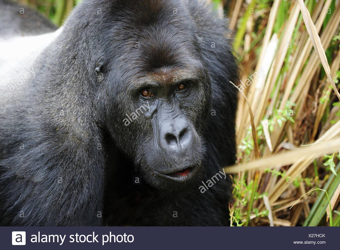 Portrait of silverback eastern lowland gorilla in the marshes of Kahuzi Biega Park (Gorilla beringei graueri) Democratic - Stock Image