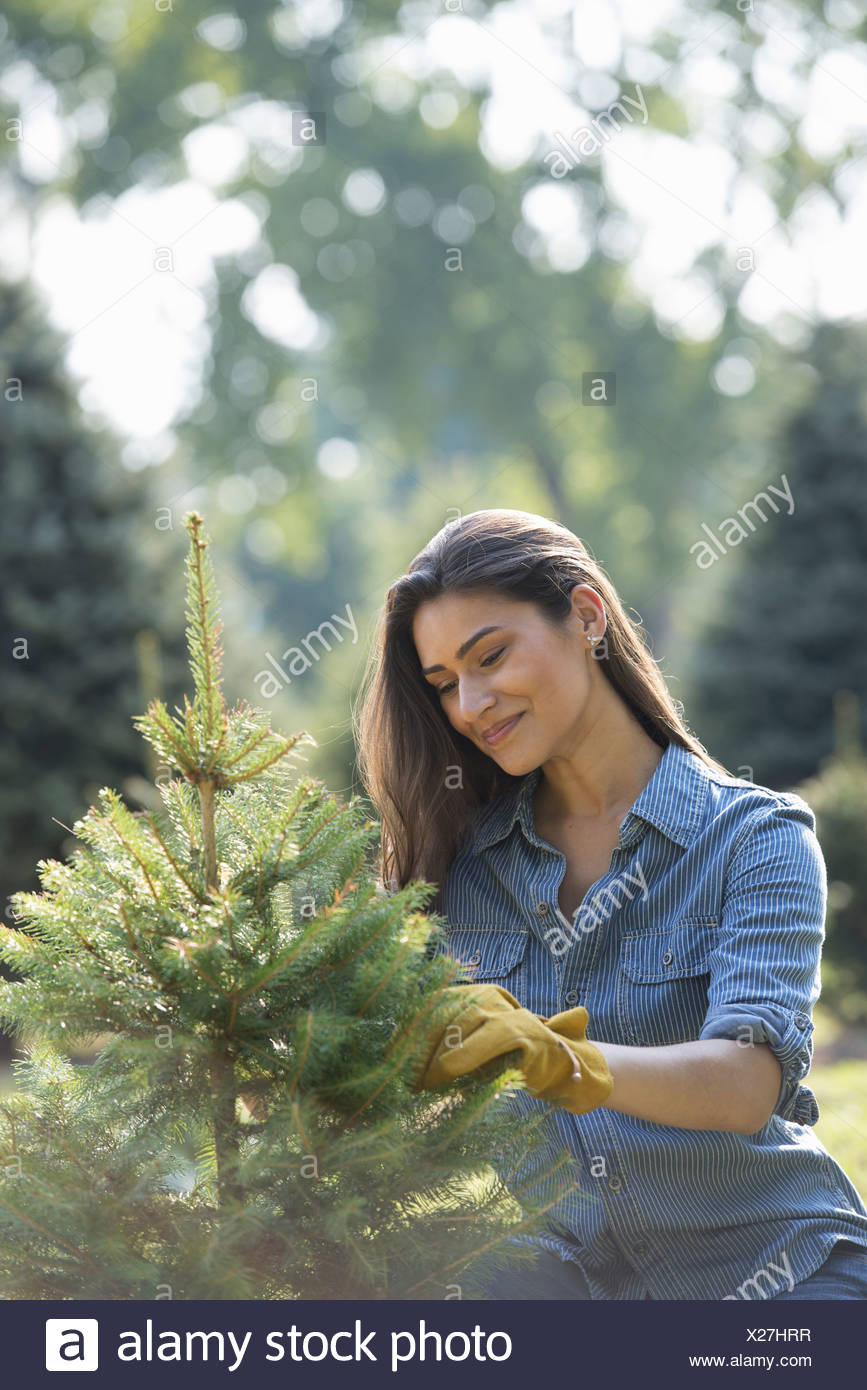 A woman pruning an organically grown christmas tree. - Stock Image