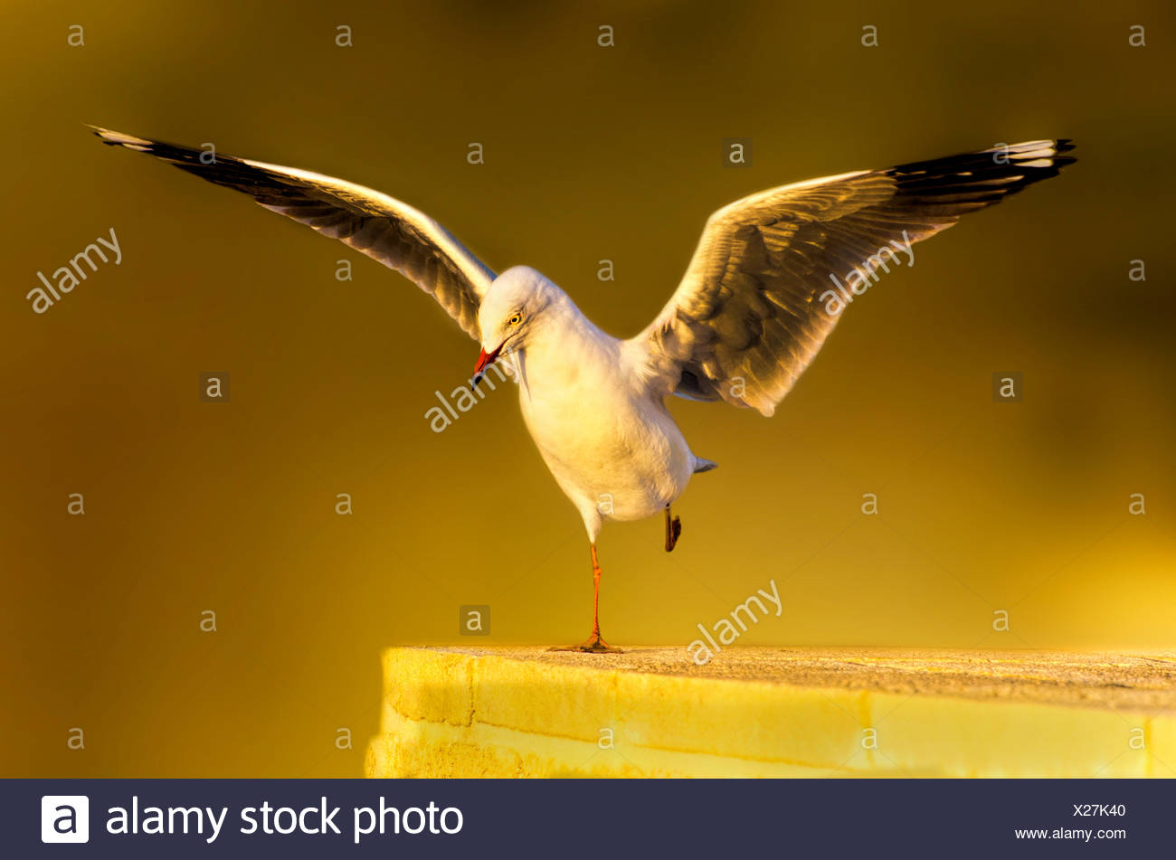 Seagull Landing on wall - Stock Image