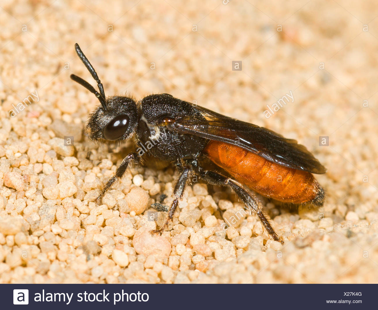 Blutbiene, Blut-Biene, Sphecodes ephippius (Sphecodes ephippius), Weibchen, Deutschland   Bare-saddled Blood-bee (Sphecodes ephi - Stock Image