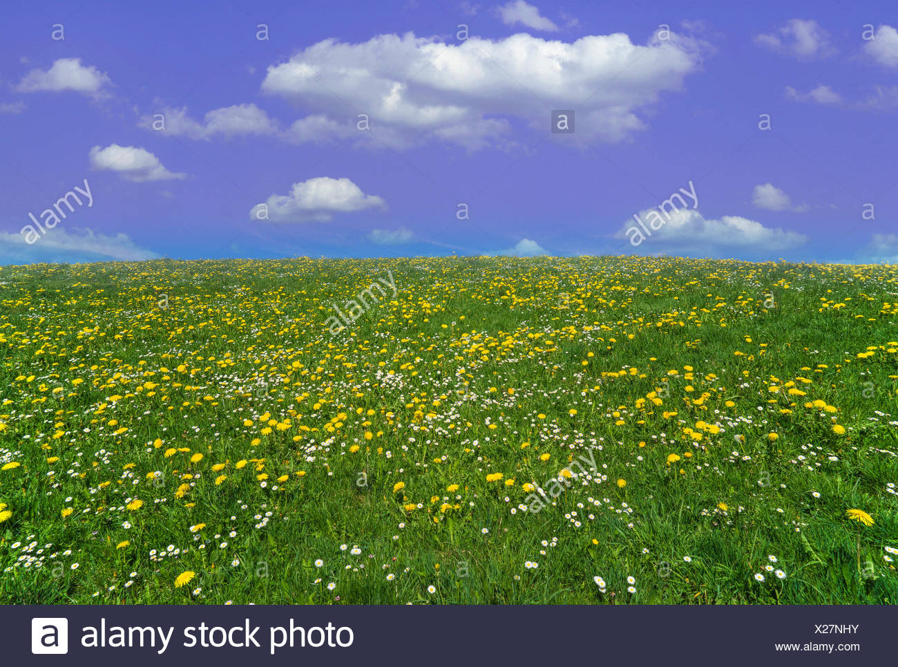dandelion meadow and blue sky with cumulus clouds, Germany, Bavaria, Oberbayern, Upper Bavaria - Stock Image