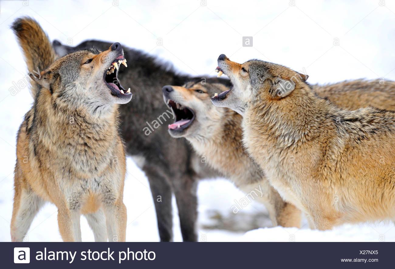 Mackenzie valley wolf - photo#32