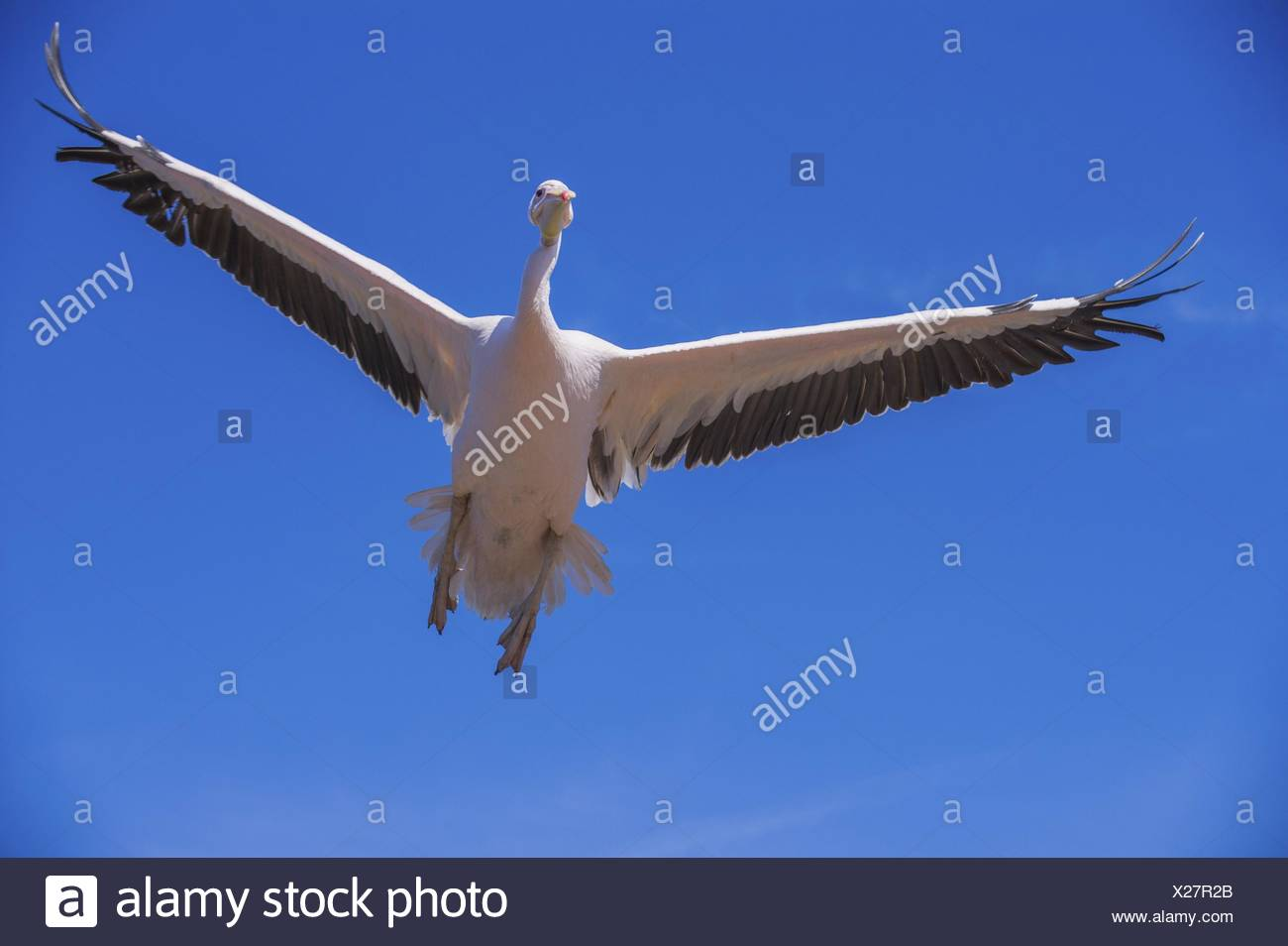 great white pelican Bird Park Marlow Stock Photo