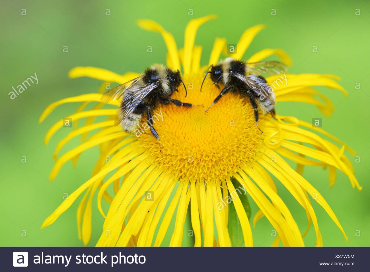 Cuckoo bumblebees - Stock Image