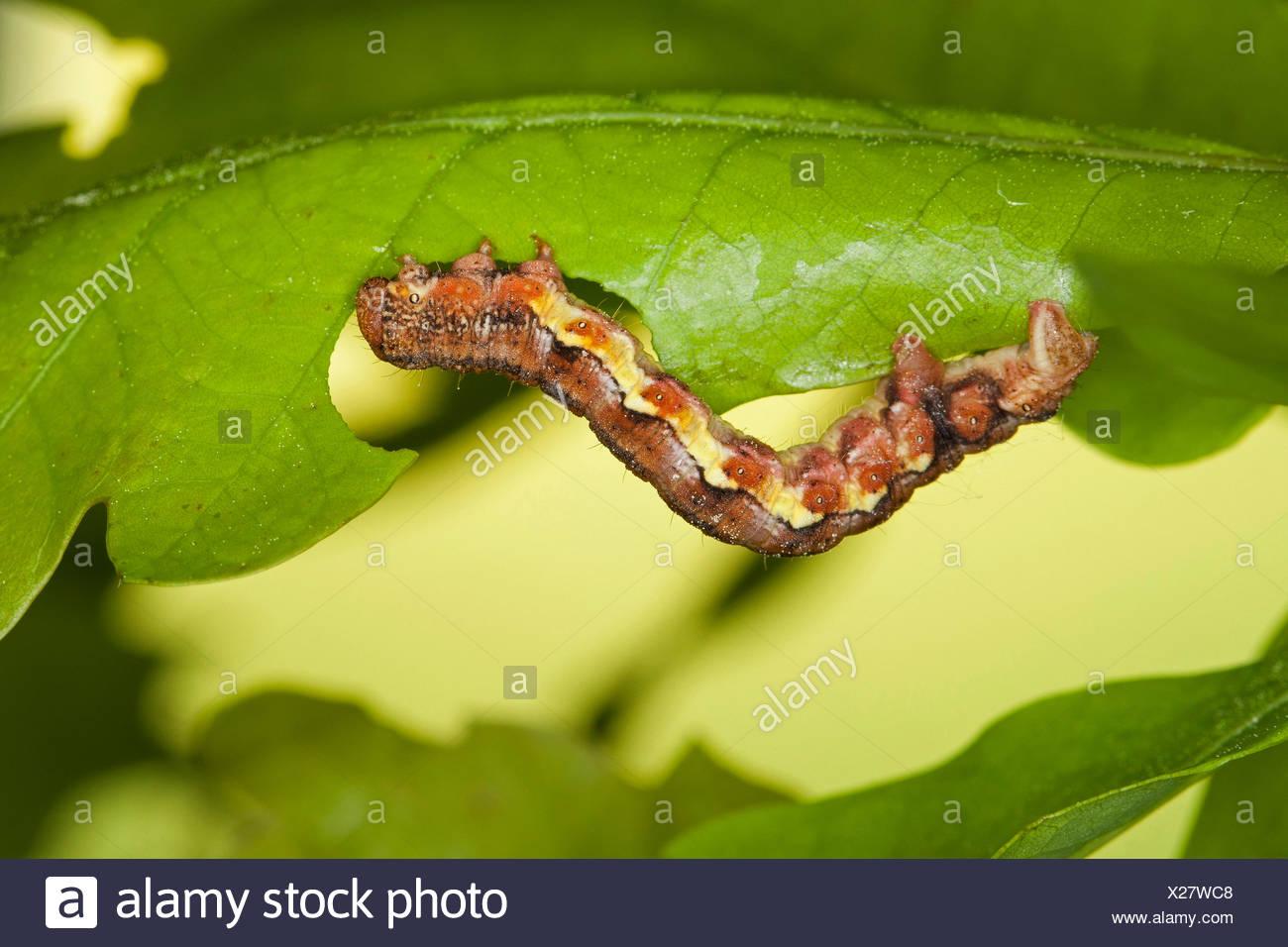 Mottled umber (Erannis defoliaria, Phalaena defoliaria, Hybernia defoliaria), caterpillar feeeding on oak leaf, forest pest, Germany - Stock Image