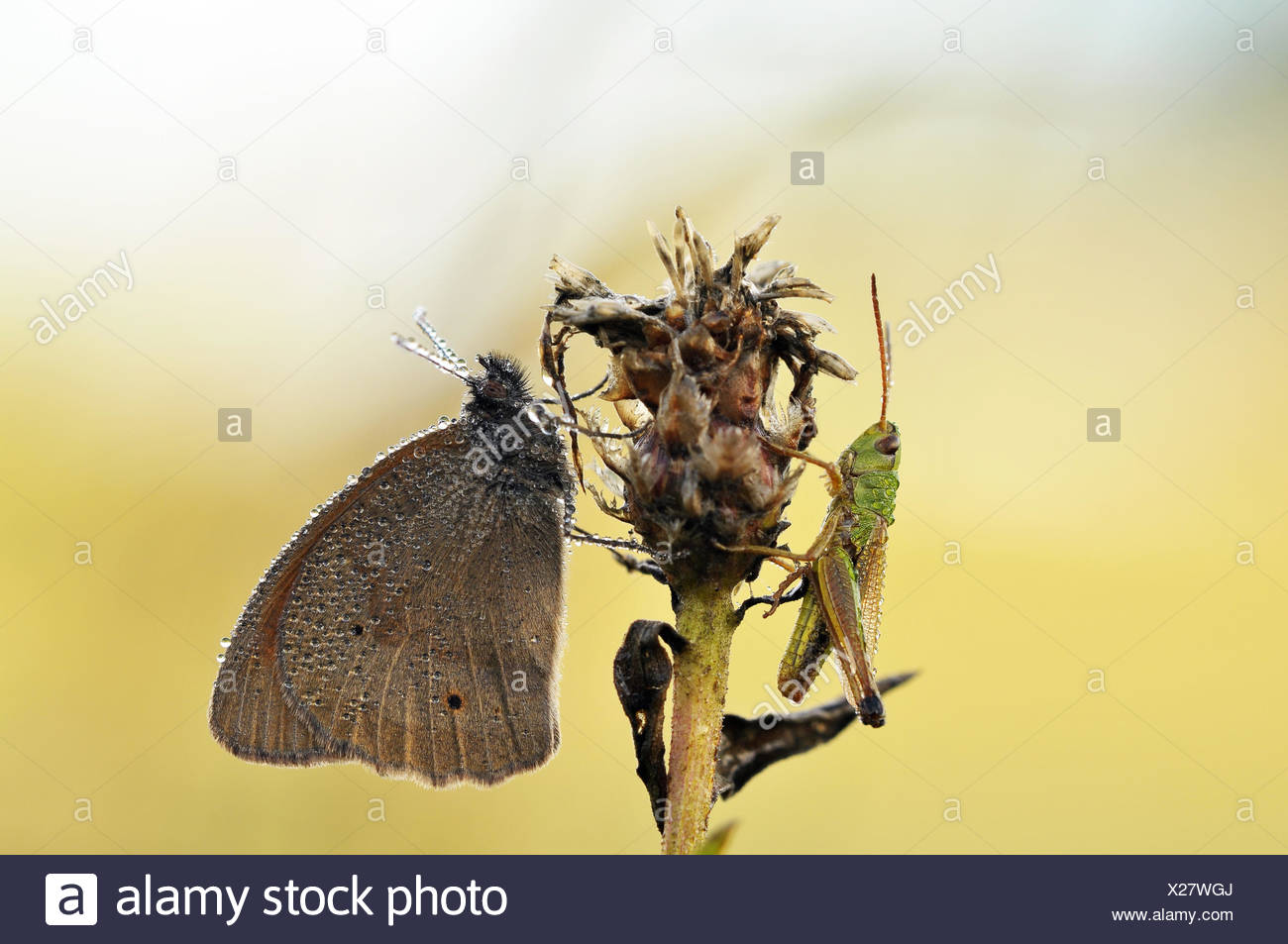meadow brown - Stock Image
