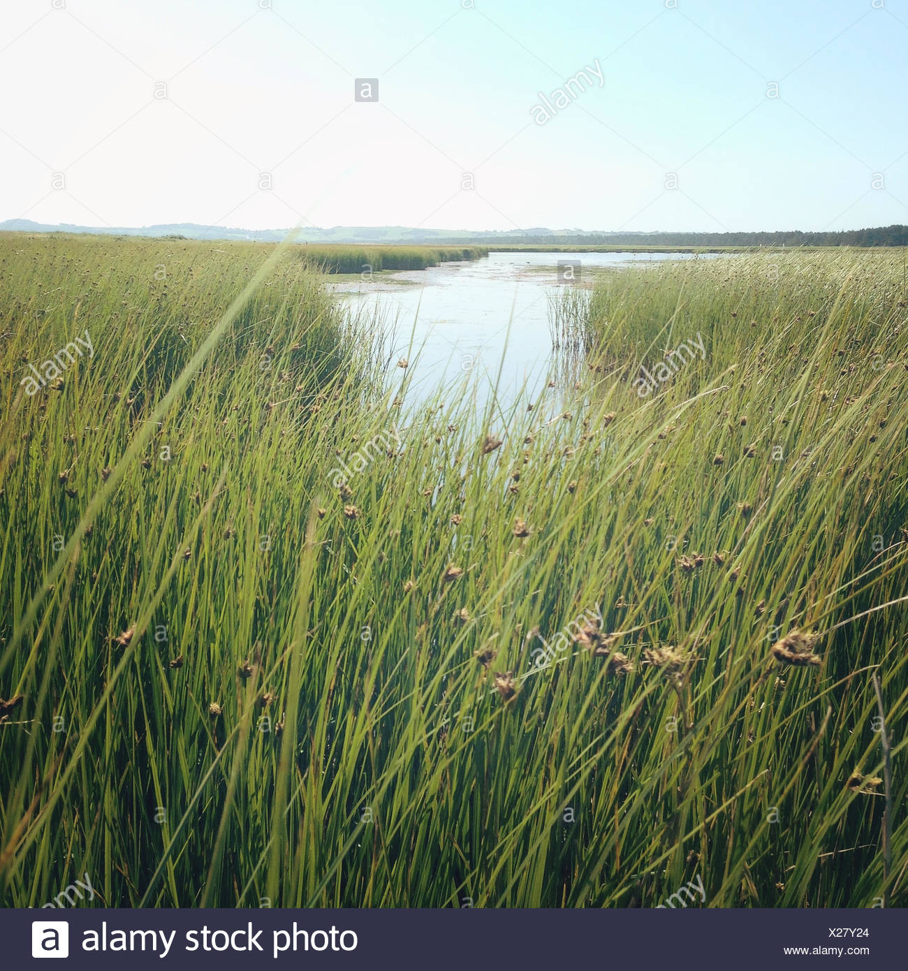 Long grass by river - Stock Image