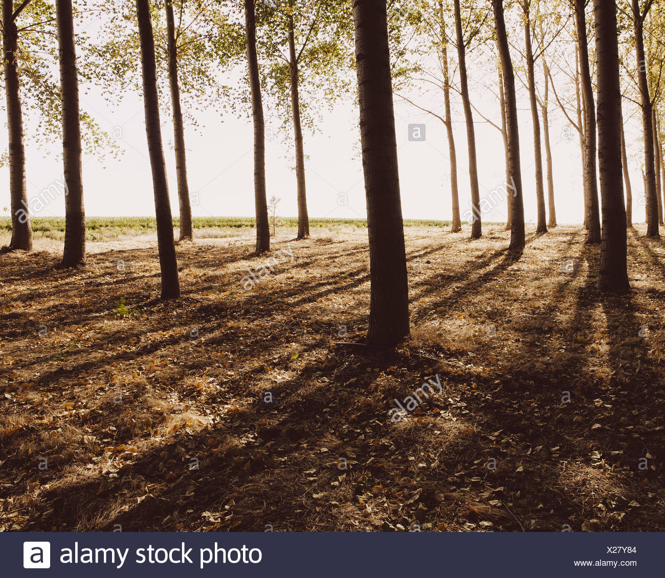 Cottonwood trees planted in ordered rows casting long shadows on the ground Commercial arboriculture a tree nursery or farm - Stock Image