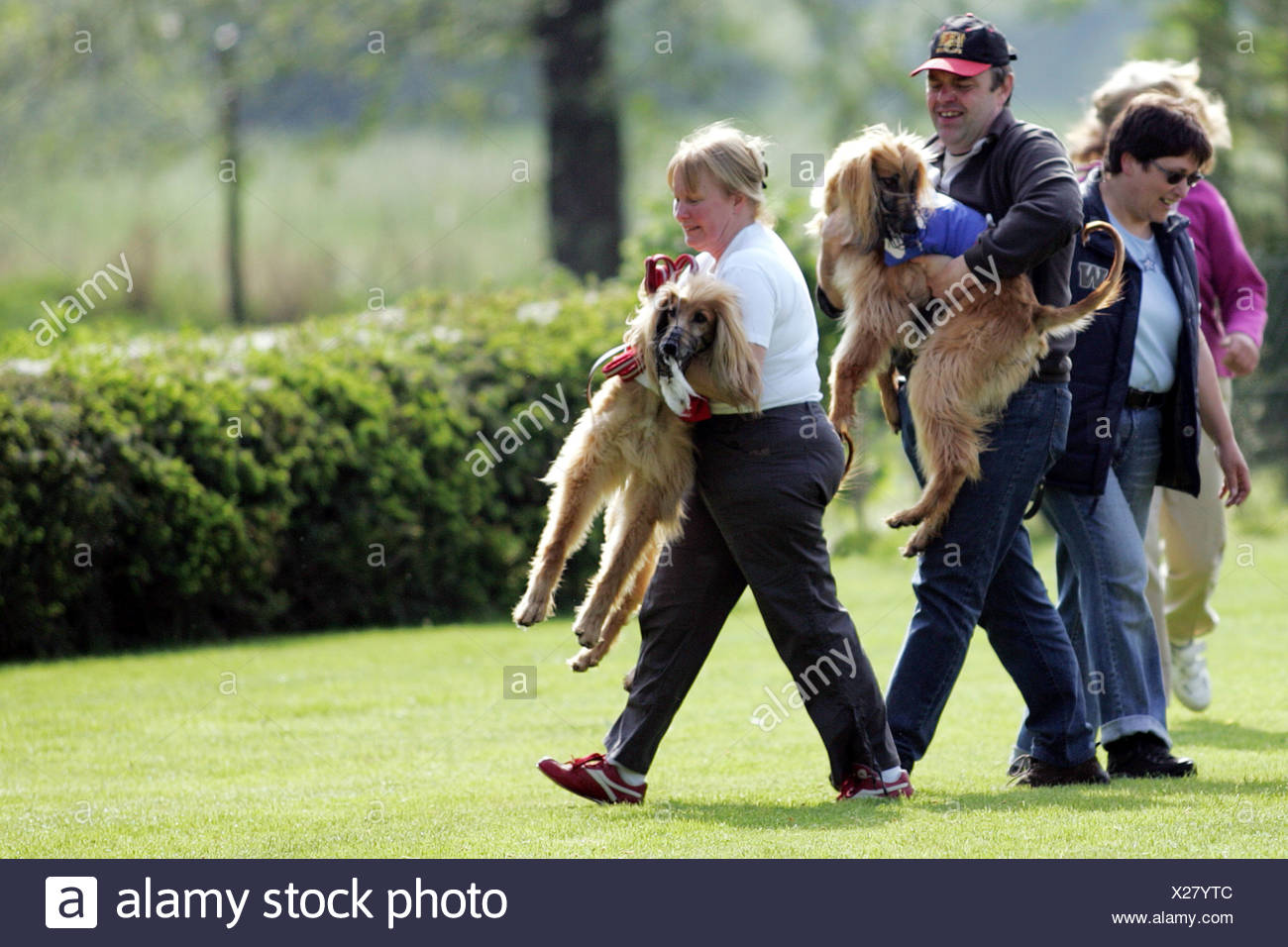 Afghanistan Hound, Afghan Hound (Canis lupus f. familiaris), bearing up after the race to avoid biting, Germany Stock Photo