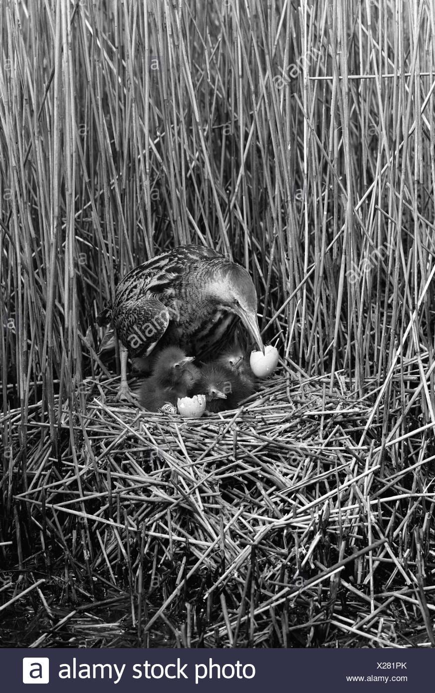Bittern at nest, Minsmere Suffolk 1950. Taken by Eric Hosking - Stock Image