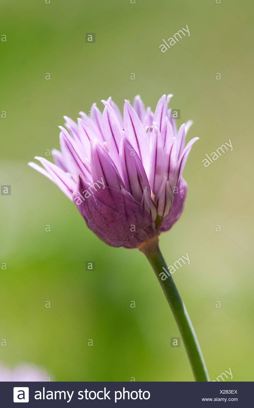 Allium schoenoprasum, Chive, Purple flower subject, Green background. - Stock Image