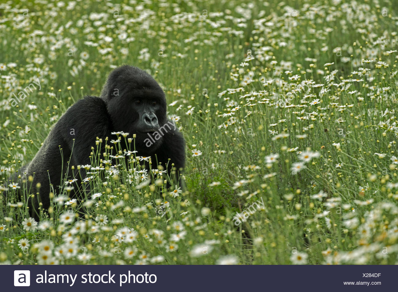 A mountain gorilla rests outside Volcanoes National Park. - Stock Image