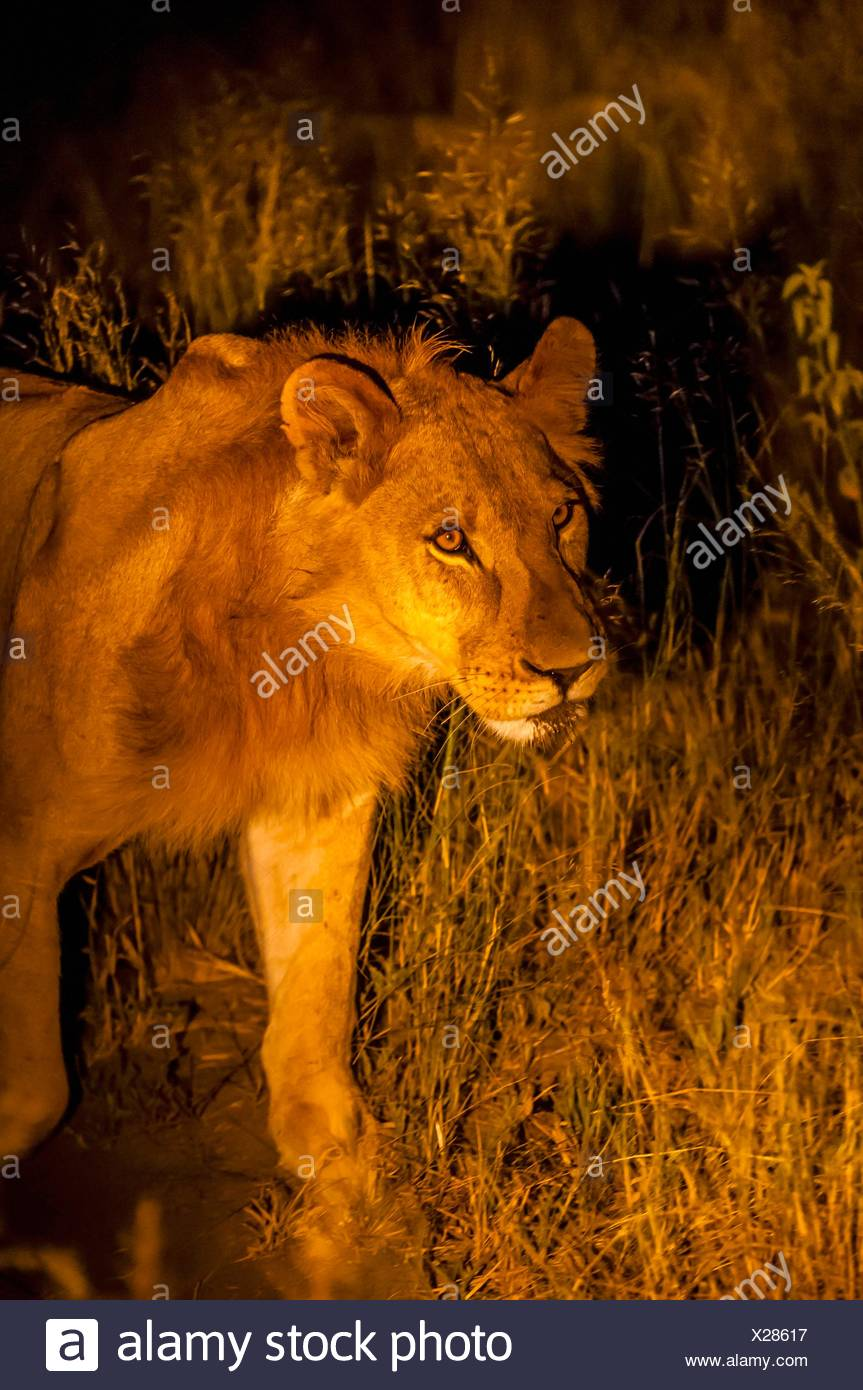 Female lion on the move at night, Kwando Concession, Linyanti Marshes, Botswana. Stock Photo