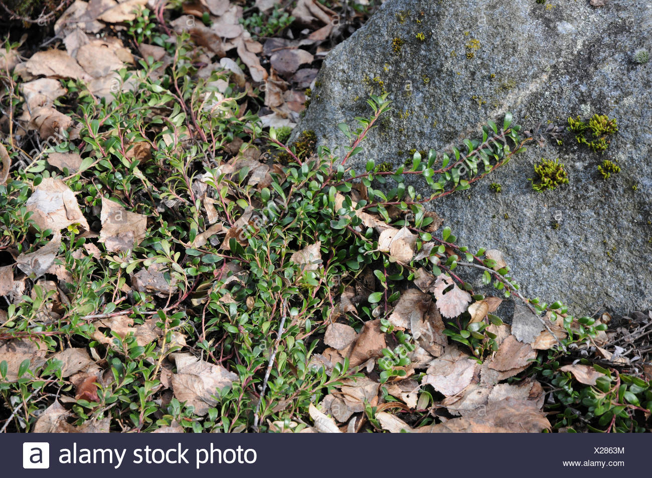Arctostaphylos uva-ursi, Bearberry - Stock Image