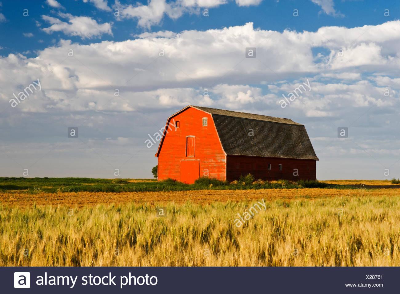 old red barn next to wheat field, near Elrose, Saskatchewan, Canada - Stock Image