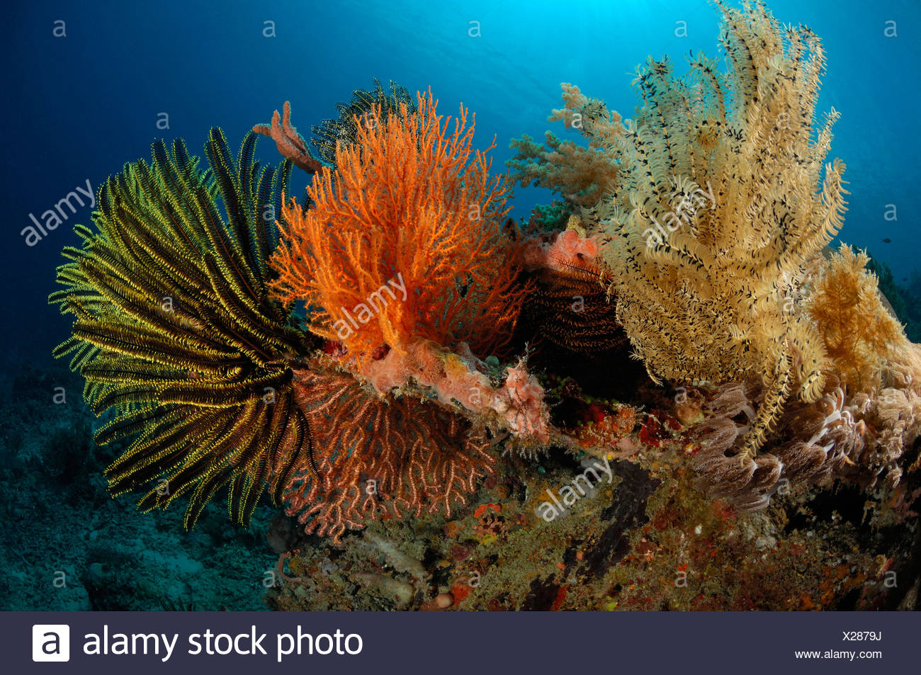 Feather Stars in Coral Reef, Comanthina sp., Alor, Indonesia - Stock Image