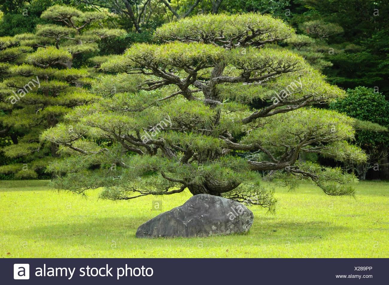 Japan, Ise shrine, bonsaï - Stock Image