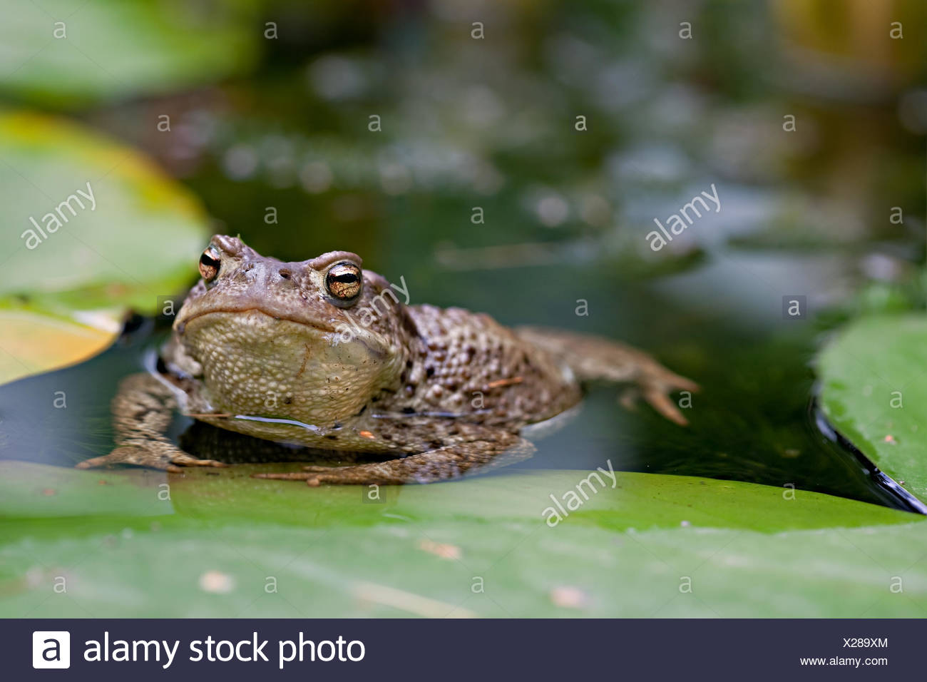 frog fresh water pond water slippery toad sullen amphibian curious nosey nosy Stock Photo