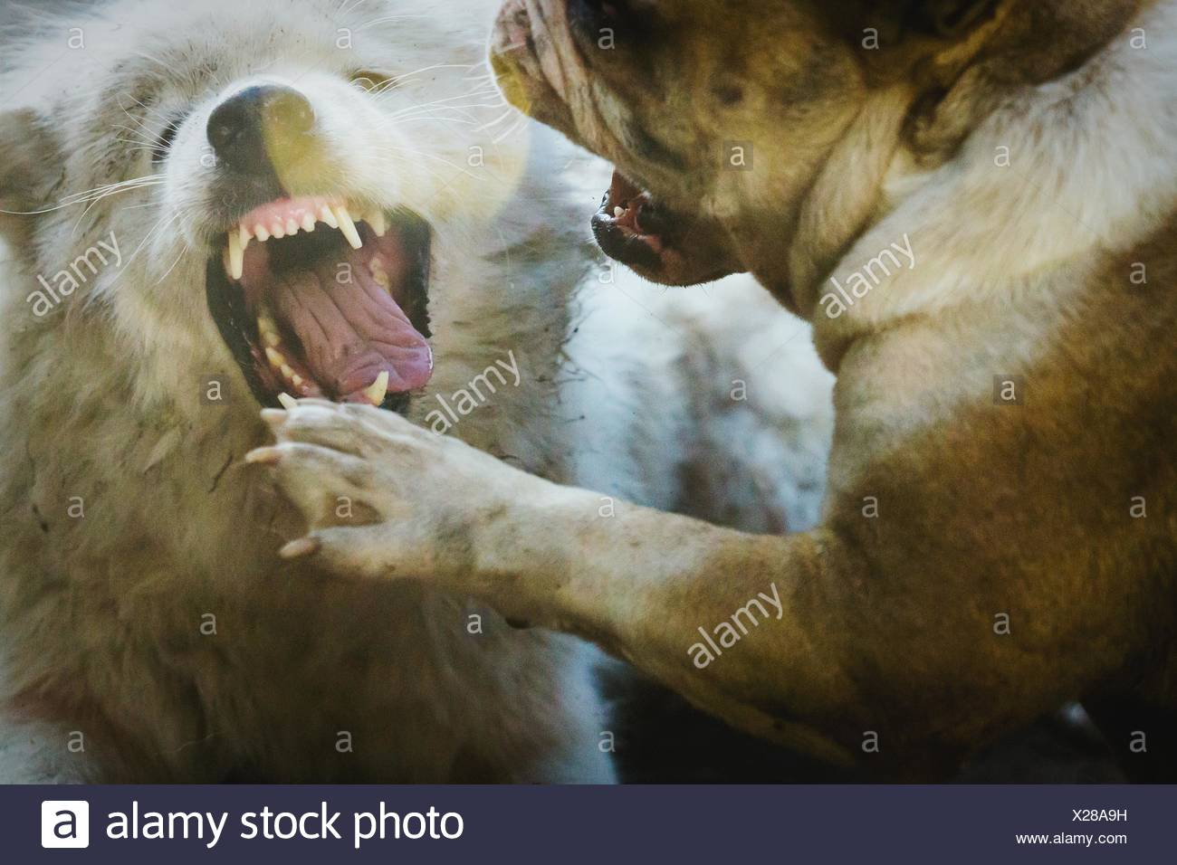 Angry Dogs Fighting Outdoors - Stock Image