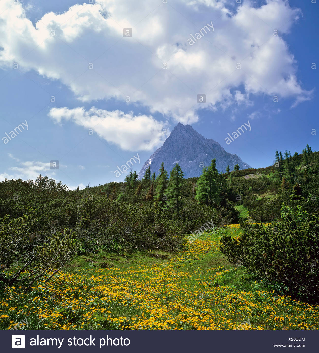 Mountain meadow and Mt. Hochkoenig, Berchtesgadener Alps, Salzburger Land, Austria, Europe - Stock Image