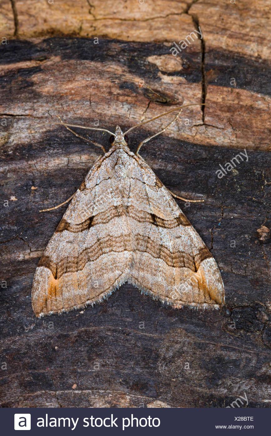 Treble-bar, St. John's Wort Inchworm (Aplocera spec., Anaitis spec., Aplocera plagiata oder Aplocera efformata), on bark, Germany - Stock Image
