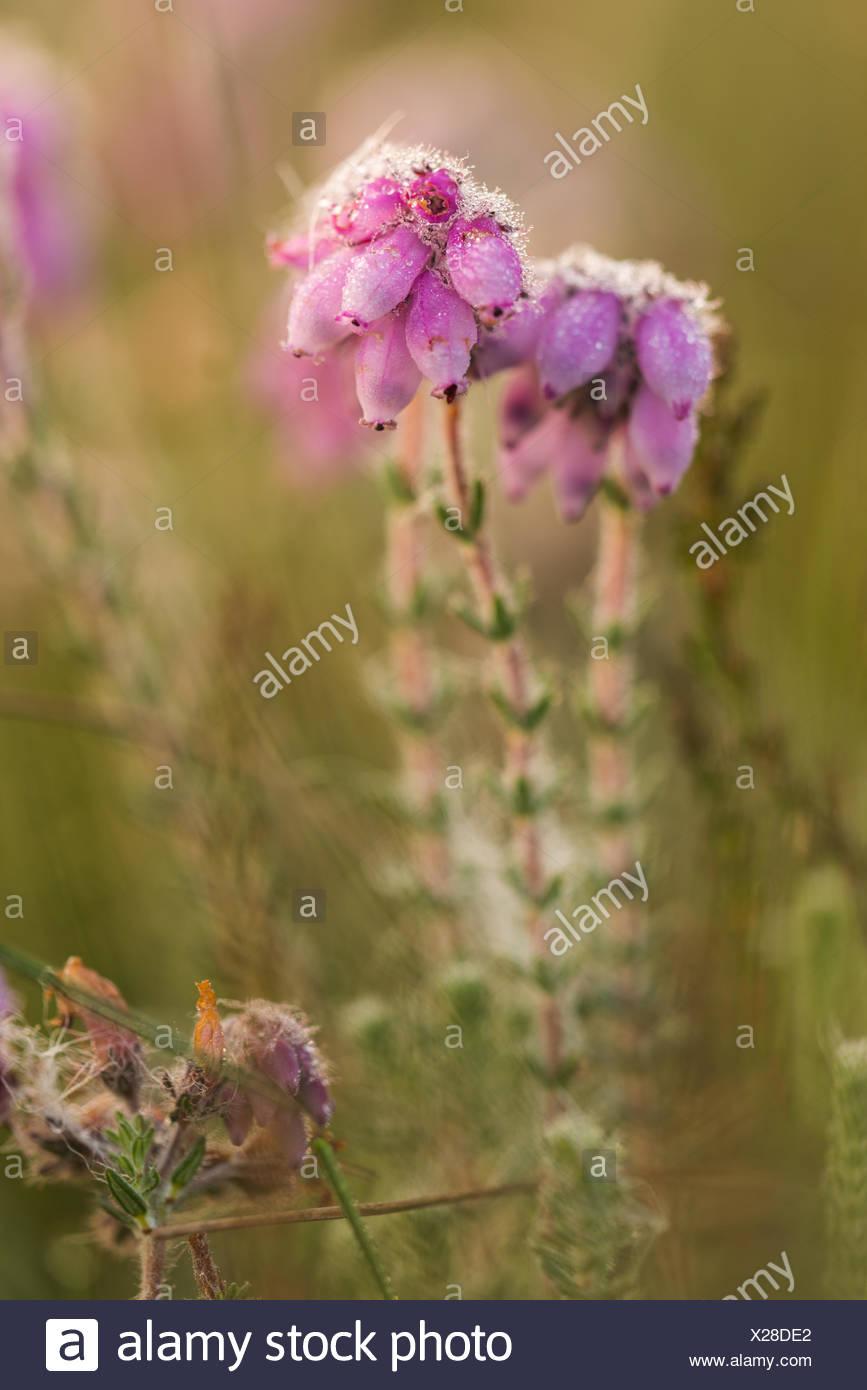 bog heather Stock Photo