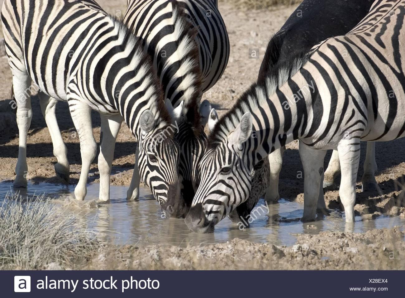 drinking zebras - Stock Image
