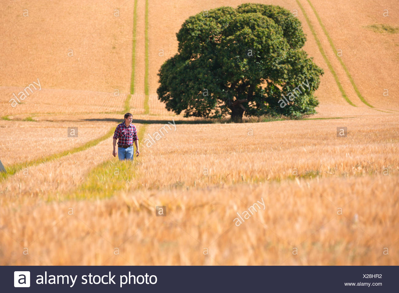 Farmer walking in sunny rural barley crop field in summer - Stock Image