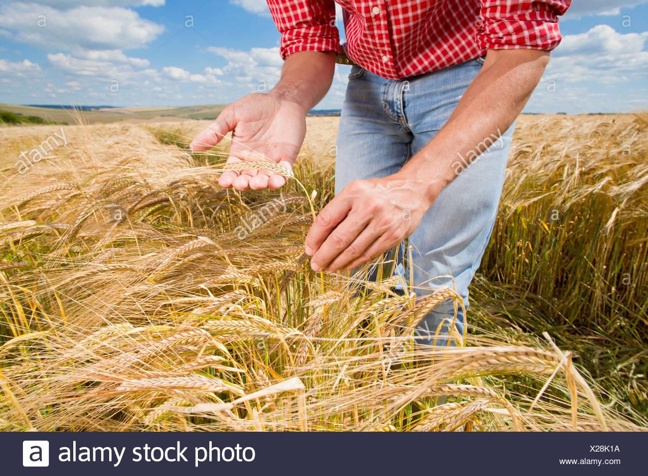 Close up farmer examining sunny rural barley crop field in summer - Stock Image