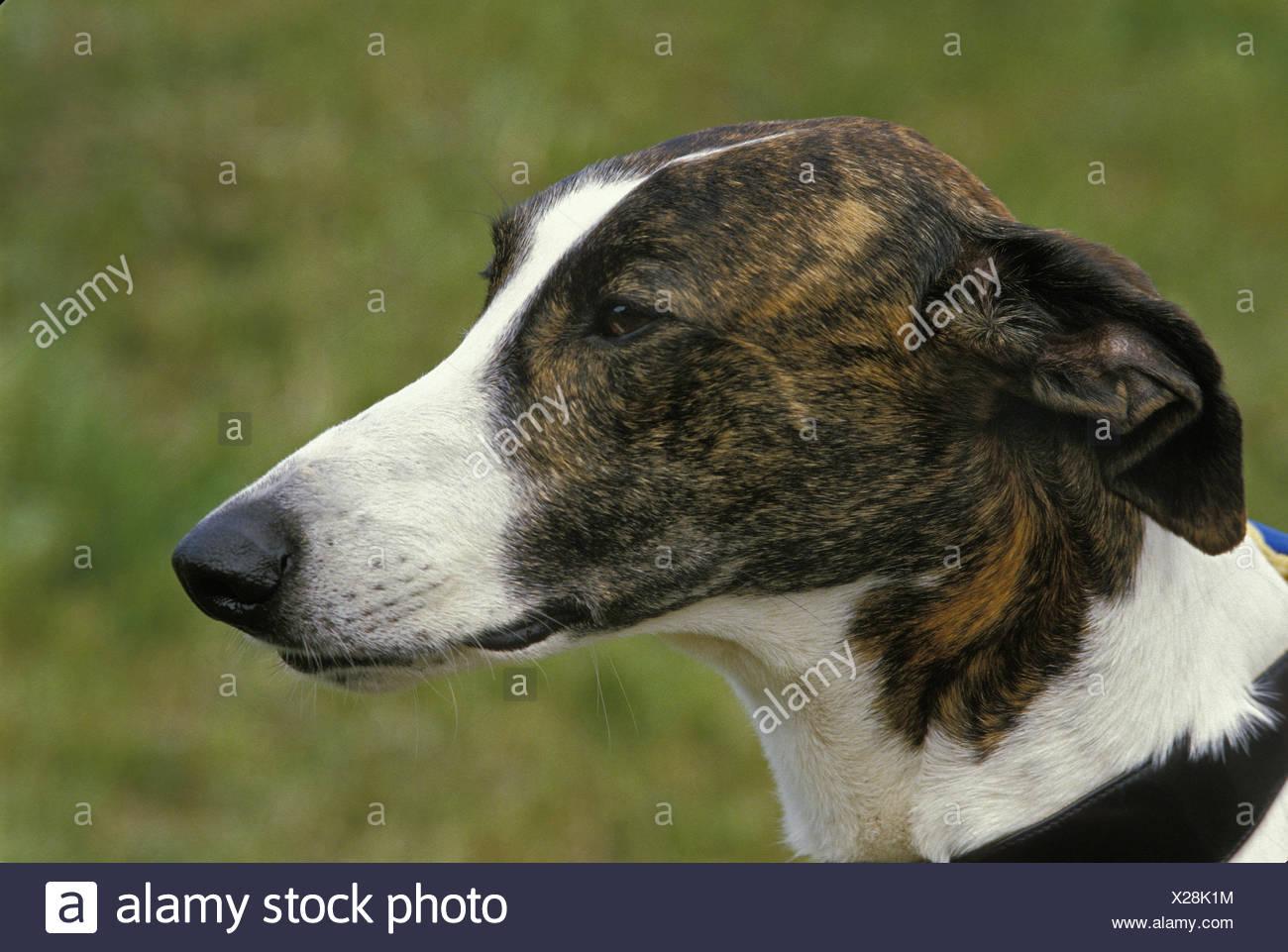 Magyar Agar, Hungarian Greyhound - Stock Image