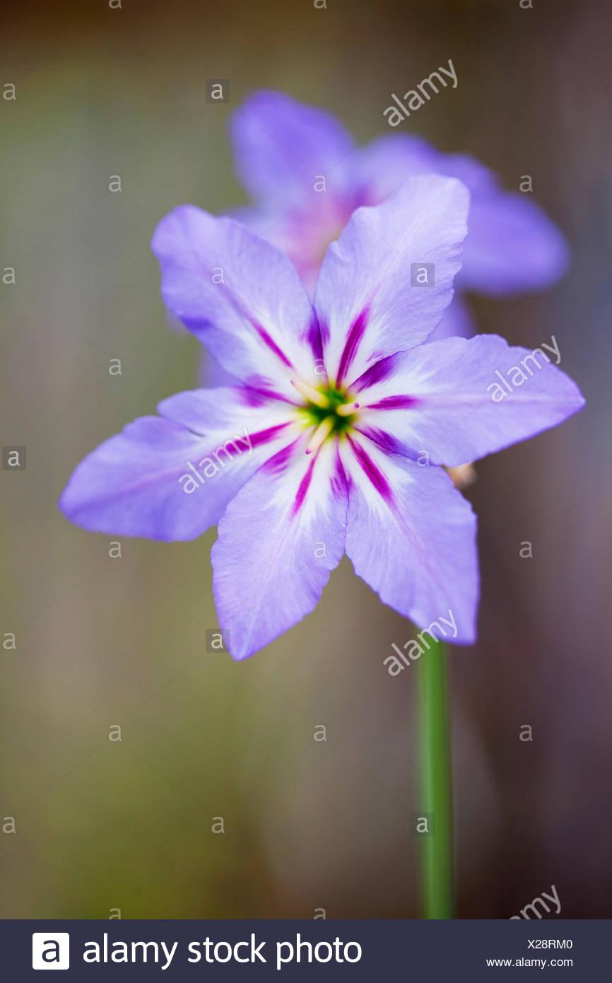 Leucocoryne purpurea Stock Photo