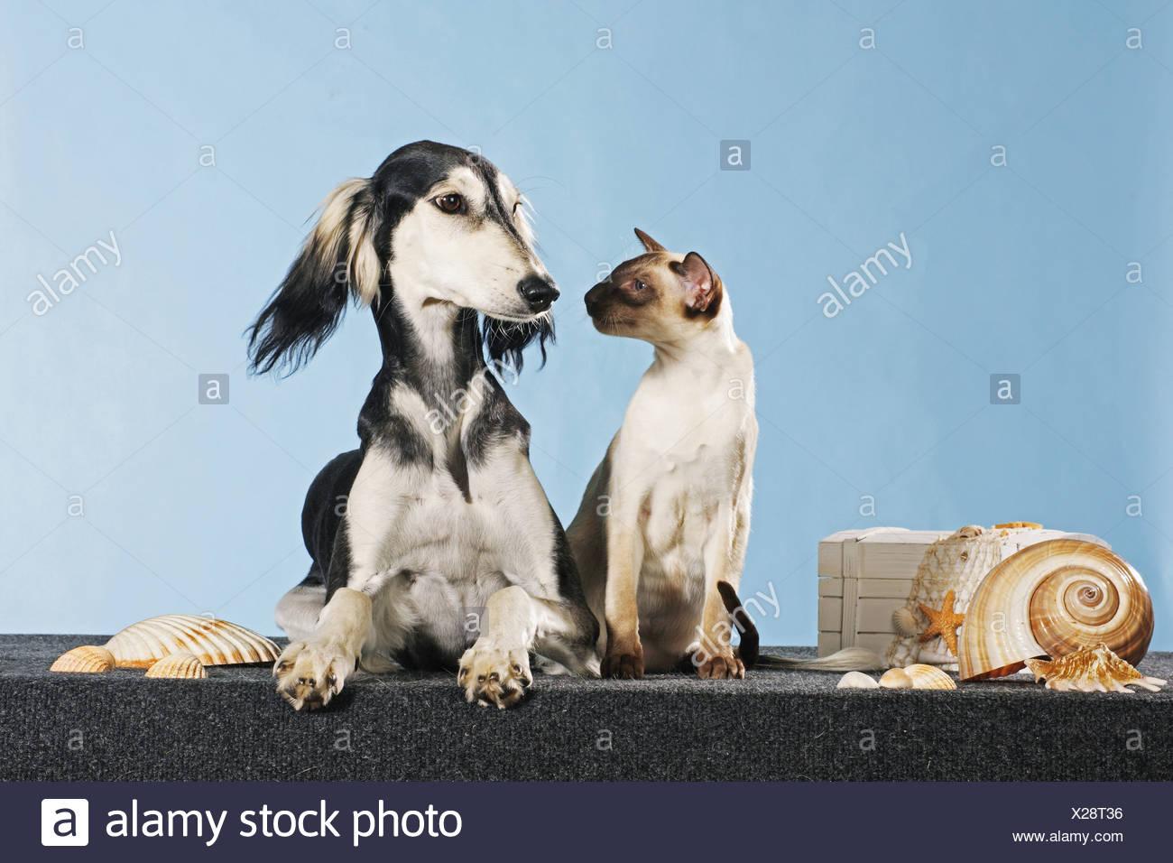 animal friendship: Saluki dog and Siamese cat Stock Photo