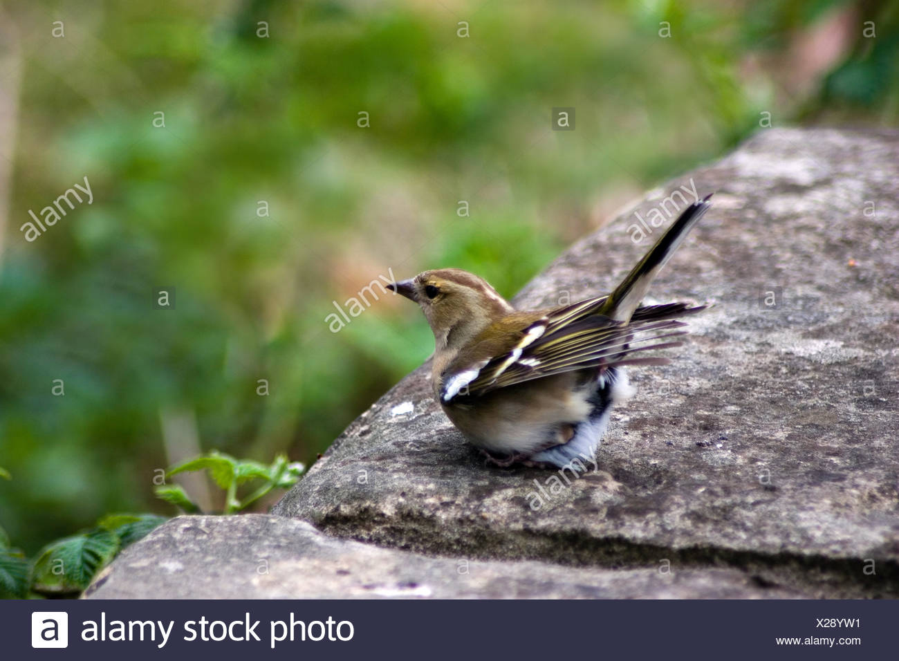 female bird birds crouch wing freedom liberty feathers beak feathering claws - Stock Image