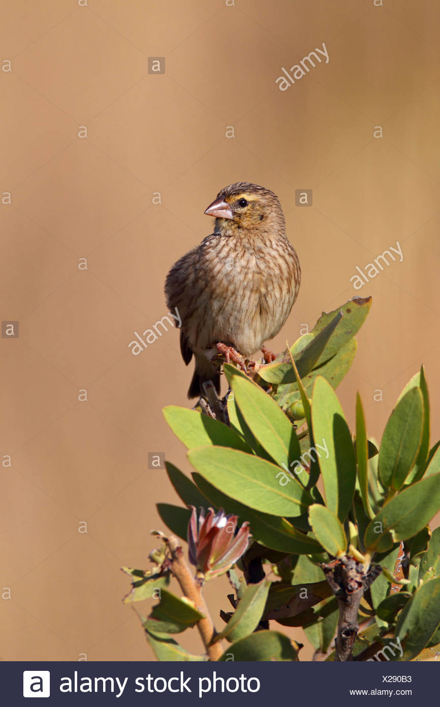 red-collared whydah (Euplectes ardens), female sits on a shrub, South Africa, North-West Province, Kgaswane Mountain Reserve - Stock Image