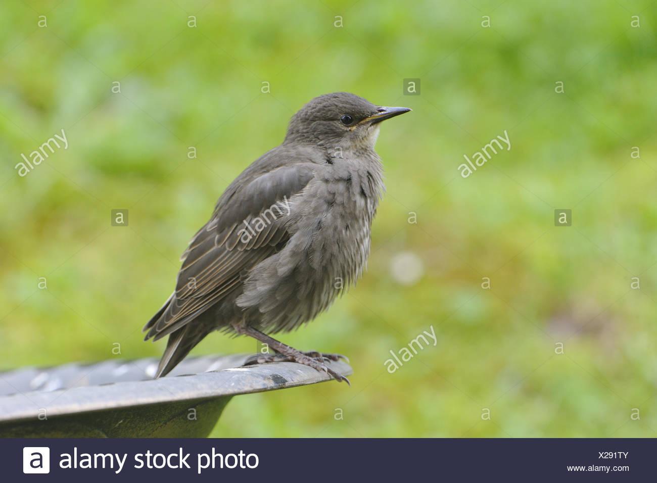 Common starling Stock Photo