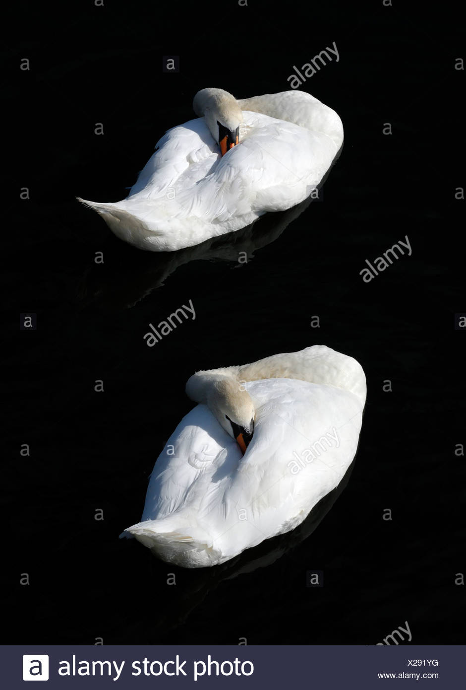 Sleeping pair of Mute Swan (Cygnus olor) Stock Photo