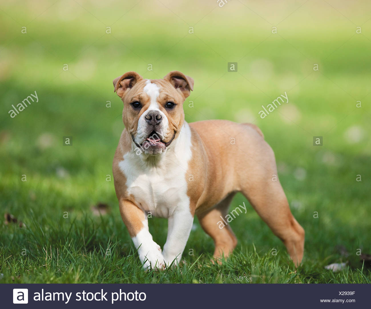 Continental Bulldog Puppies High Resolution Stock Photography And Images Alamy