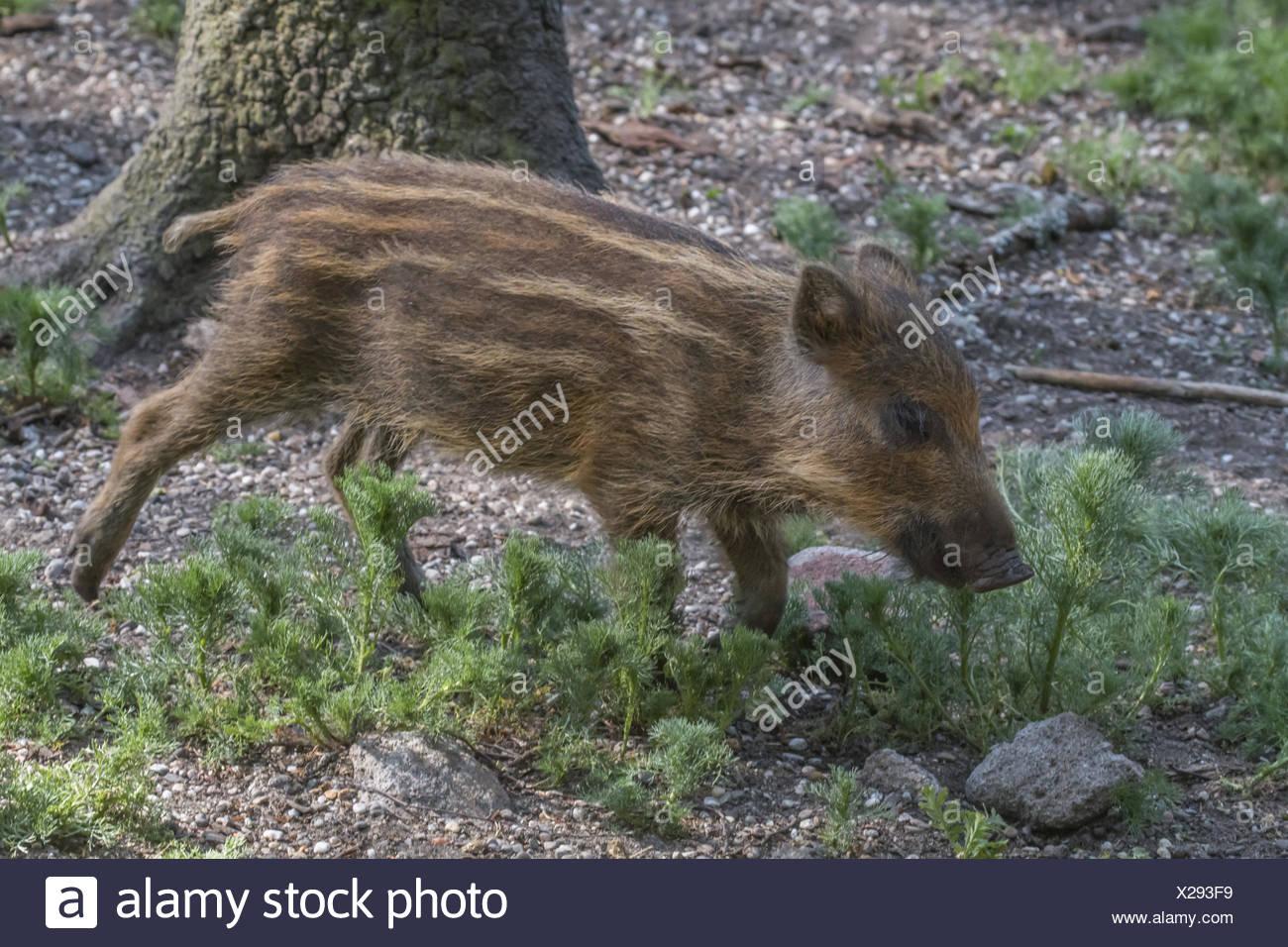 Wild boar (Sus scrofa) - Stock Image